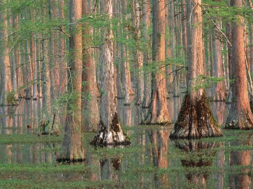 Cypress Trees, South Carolina - 1600x1200 - ID 2 - Destination - Cypress Trees, South Carolina - 1600x1200 - ID 2............ Best locations from around the world ... Truly an adventurer's paradise...High Resolution Photography
