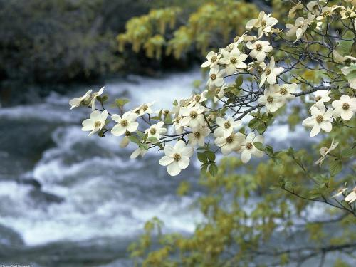 Dogwood Tree Blooms, Yosemite, California - 1600 - Destination - Dogwood Tree Blooms, Yosemite, California - 1600............ Best locations from around the world ... Truly an adventurer's paradise...High Resolution Photography