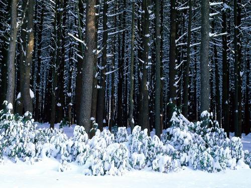 Eastern White Pine Trees, Pocono  - Destination - Eastern White Pine Trees, Pocono ............ Best locations from around the world ... Truly an adventurer's paradise...High Resolution Photography
