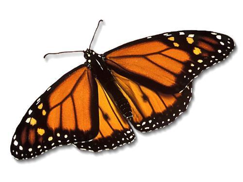 Butterfly - A butterfly.