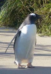 Penguin - Its a penguin, they are cool