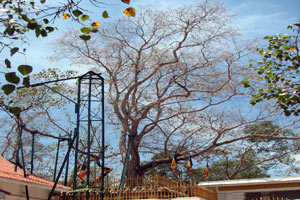 bo tree - Charm