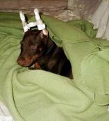 Doberman Puppy with Ears Posted - This is a picture of Nemo. We posted his ears from the beginning of October to just after Thanksgiving and we must have done something right because his ears stand very well.