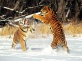 fighting tigers - fight!!