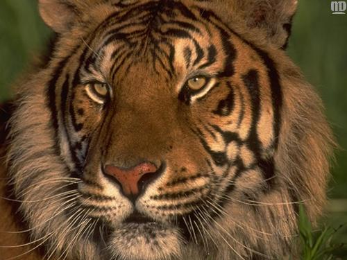 tiger.... - it is well know for its pride....beautiful animal on this earth.....