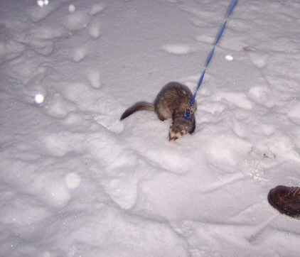 My Ferret - This is my ferret playing in the snow.