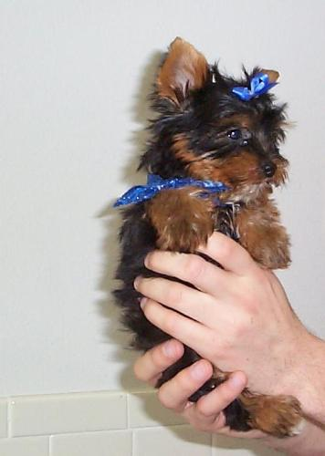 baby yorkie - the cutest yorkie i have ever seen.