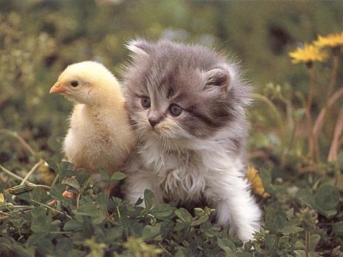 chick - chick