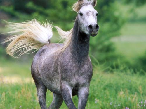 gray horse - beautyfull gray arabian horse
