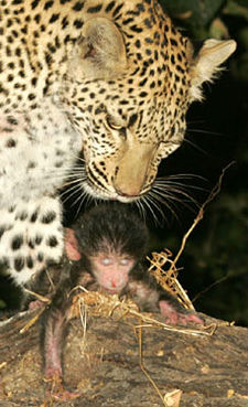 Leopard and Baboon - Rewriting the law of the jungle: a leopard cares for a baboon  whole story:  http://www.dailymail.co.uk/pages/live/articles/news/news.html?in_article_id=422784&in_page_id=1770