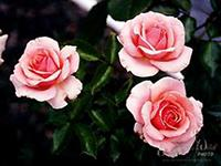 Rose is a queen of flowers. - Roses are used for devotional purposes, and it helps to express love. In the world most of the people like the roses very much. Roses are having different colors, each one is symbolizing a different message. Red for Love, White for Peace etc.