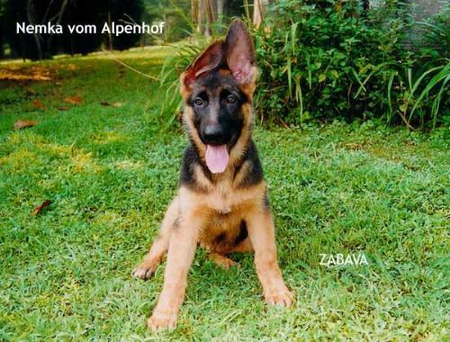 german shepherd - here comes da king f da dogs........... germen shepherd...