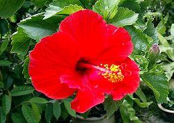 Hibiscus - Rosa Sinensis - Malaysia's National Flower - Hibiscus