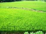 PADDY  - Paddy field in Asia. Rice is found from paddy and rice is principal food for Asian people.