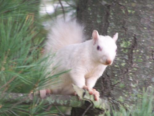 White Squirrels - Here is a picture of what these creatures look like!