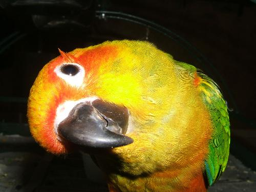 Sun Conure - This is a picture of our pet sun conure.  Isn't he gorgeous??