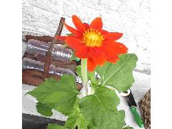 mexican sunflower - Mexican sunflower with yellow center and red-orange petals. Grown right from the seed!