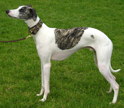greyhound - very fast especially around a race track!