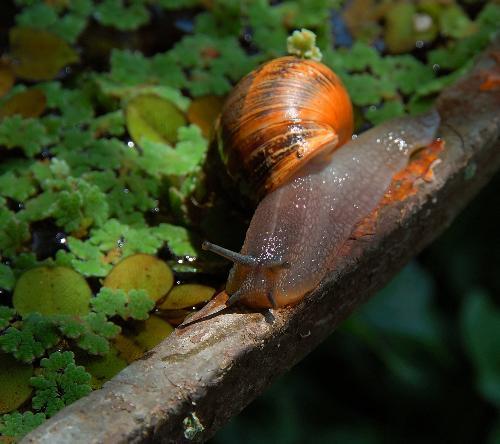 Garden snail - Garden snail