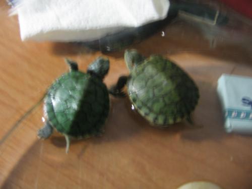 Turtles - my turtles