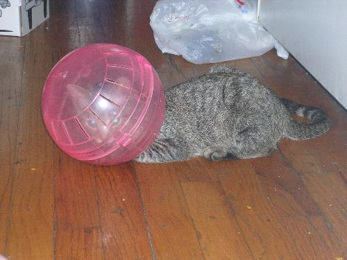 Cat stuck in hamster ball - I don't even know where to start on this one, lol!