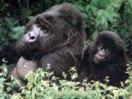 Gorrilas what beautiful animals - I love them