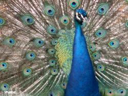 peacock - beautiful sight!!!!