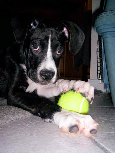 jayla and her ball - What do you think? Boxer or Boxer mix?