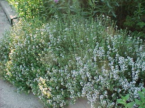 thyme - thyme is a herb, which can be used for various ilnesses and diseases and great for aromatherapy