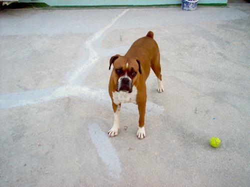 my boxer dog pina - Pina is my 6 year old boxer. Very very cuddly and loyal!