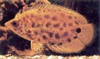 Leopard Bush fish - Fish I bought that were mislabled leaf fish.