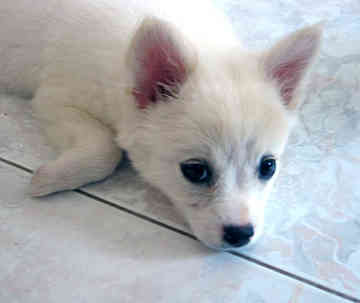 cocoy... - he is cocoy a Japanese Spitz...