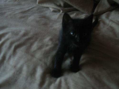 my kitten 10-06 - This is shadow when she was about 9 weeks old.
