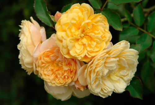 watch this yellow beauty! - do you like roses? i simply love them. look at these new roses for 2007, aren't they simply gorgeous?they look enticingly lovely,extremely tempting and beautiful in all their varied colours and textures. here is one of the numerous variety. enjoy!