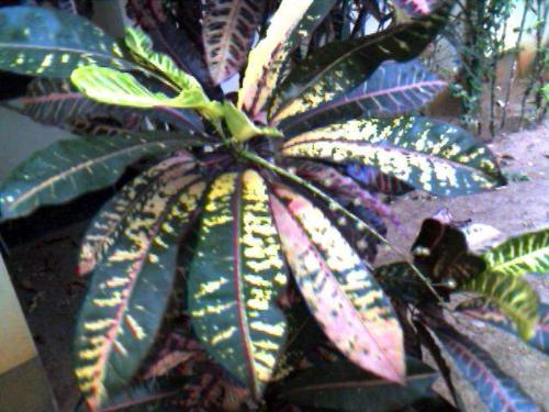 Croton leaf - Croton leaves look really beautiful if you watch them closely.