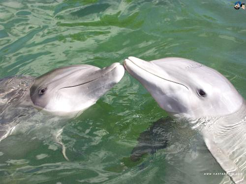 dolphins - dolphins, an aquatic fish