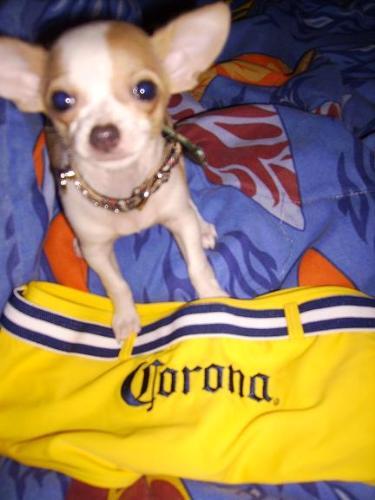 Corona Rose - our baby chihuahua