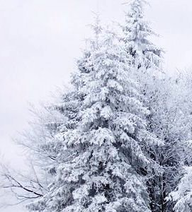 Snow Covered Trees - An example of the weather in Michigan, USA in the winter, snow covered trees are beautiful but also can cause many power outages from snow laiden tree branches breaking and falling on power lines.