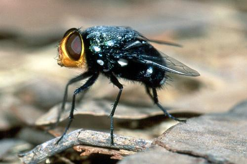 Fly - A dirty, ugly fly