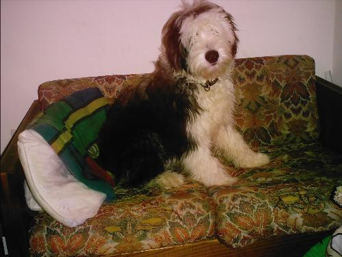 Worf, the Old English Sheepdog - I love my puppy!