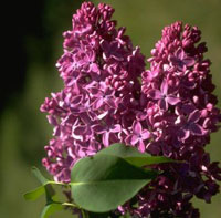 Lilacs - Photo of my very fave flowers!