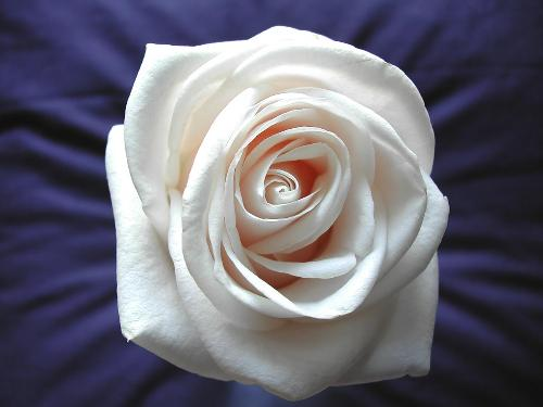 white rose - white rose a rose that says many thing............. things that cant b explained....