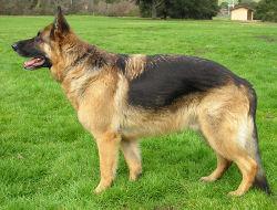 German Shepherd Dog - My favorite breed of dog!