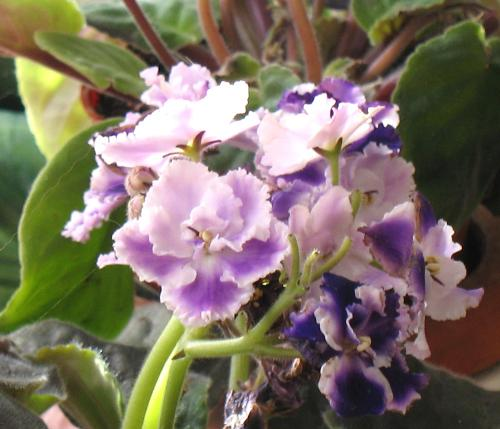 African Violet - One of my 'standard' violets in bloom.