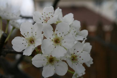 Pear tree blossom - In north east Texas. A pear tree blooming. Beautiful