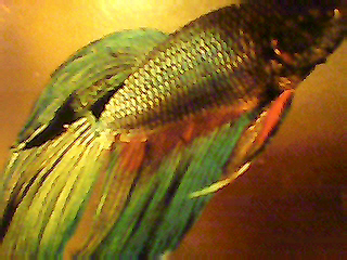 ~ - Phtograph of a male Betta..