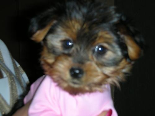 T-Cup Yorkie - Our dog