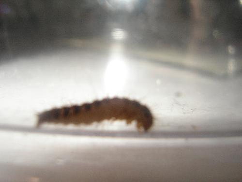 Bug thing - Its striped with 4 or 6 legs and is hairy