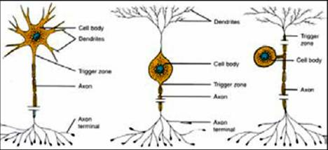 Three types of neurons - Watch the dendrites and the axons
