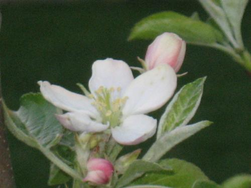 Apple Blooms - yes. My apple trees finally bloomed